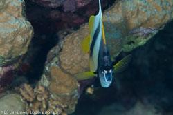 BD-100921-Fury-Shoal-1925-Heniochus-intermedius.-Steindachner.-1893-[Red-sea-bannerfish].jpg